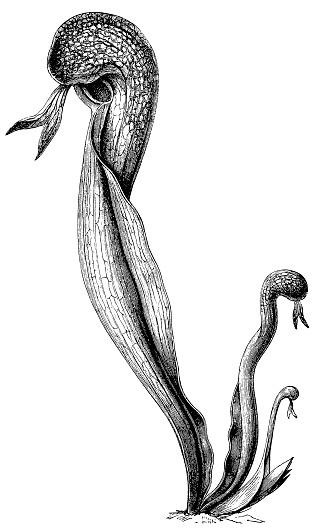 California pitcher plant, cobra lily, or cobra plant (Darlingtonia californica)