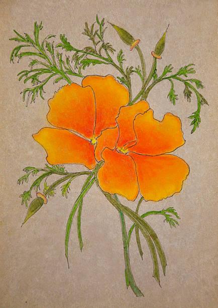 Best California Golden Poppy Illustrations Royalty Free