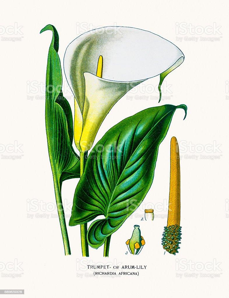 Arum d'eau  - Illustration vectorielle