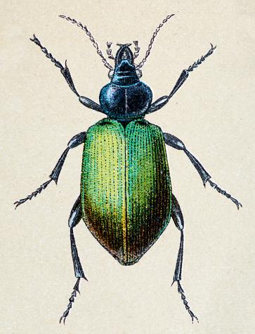 Calosoma sycophanta or forest caterpillar, insect animals antique illustration