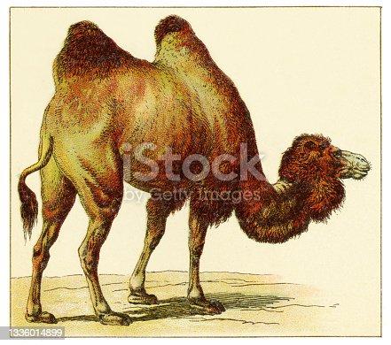 istock Camel illustration 1897 1336014899