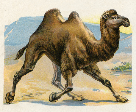 Camel illustration 1899