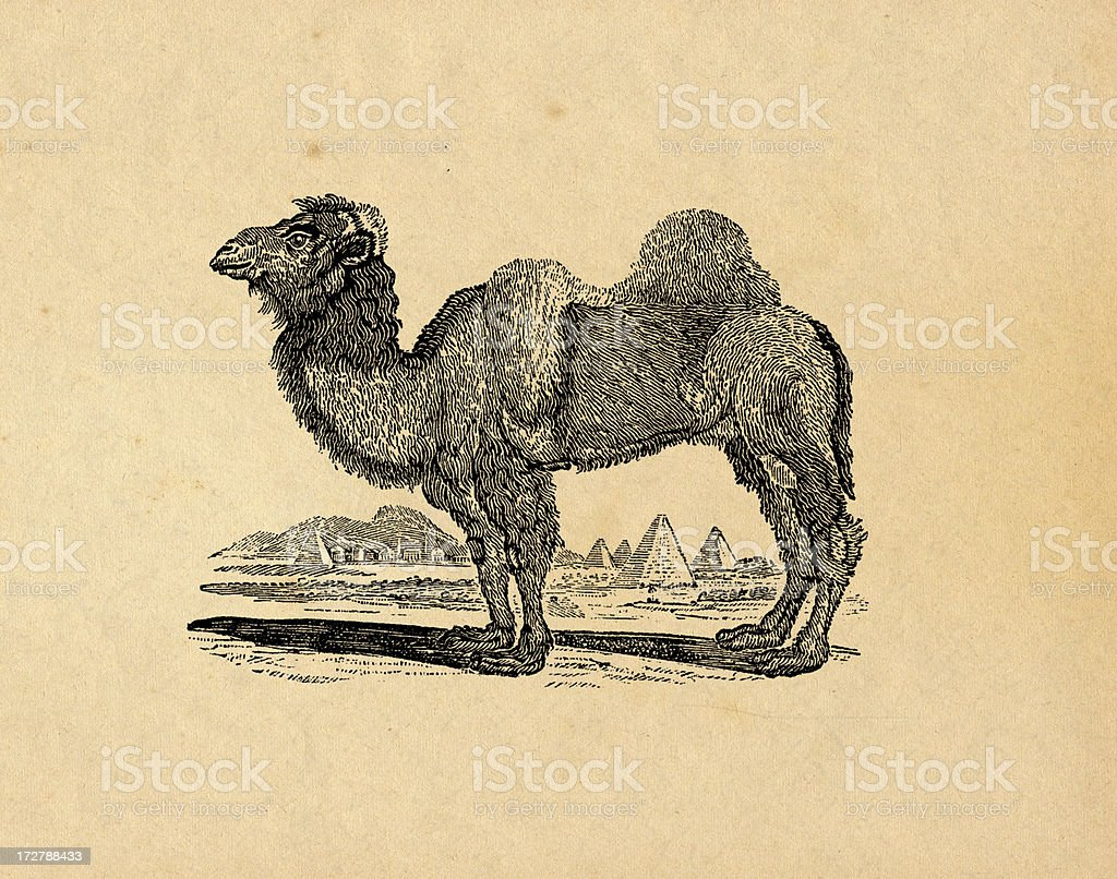 Camel royalty-free camel stock vector art & more images of animal