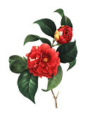istock Camellia japonica   Redoute Flower Illustrations 513139237