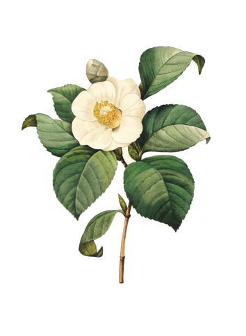 High resolution illustration of a Camellia japonica, or rose of winter, isolated on white background. Engraving by Pierre-Joseph Redoute. Published in Choix Des Plus Belles Fleurs, Paris (1827).
