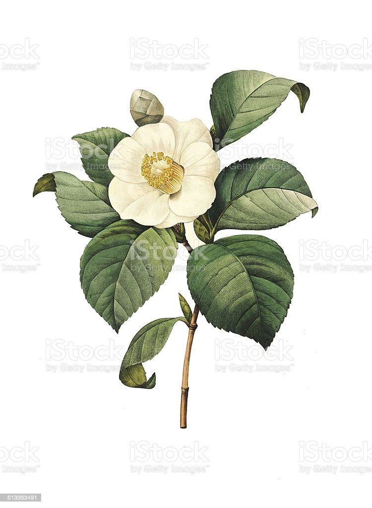 Camellia japonica | Redoute Flower Illustrations vector art illustration
