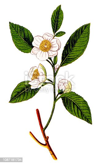 Illustration of a Camellia sinensis (tea plant ,tea shrub ,tea tree)