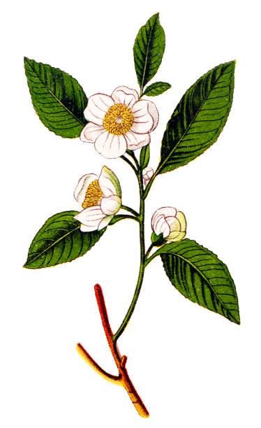 illustrazioni stock, clip art, cartoni animati e icone di tendenza di camellia sinensis (tea plant ,tea shrub ,tea tree) - camellia sinensis