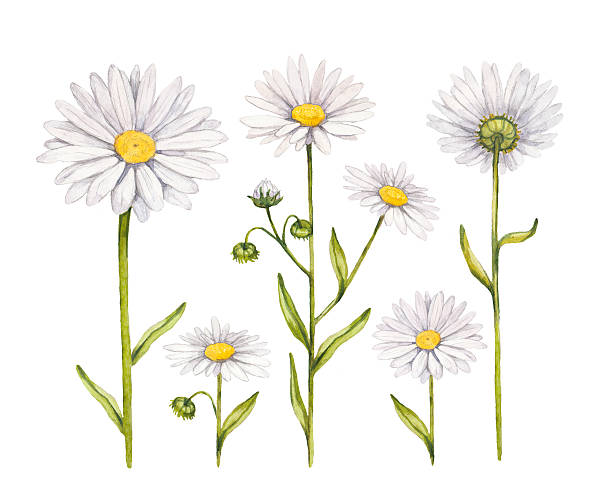 Camomile flowers collection. Watercolor illustrations Camomile flowers collection. Watercolor illustrations chamomile plant stock illustrations