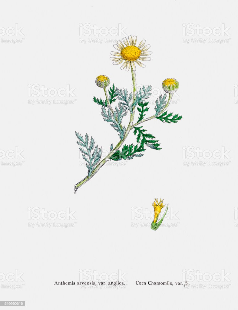 Camomile plant 19th century illustration vector art illustration