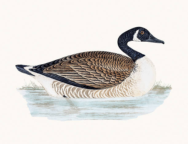 Canada Goose A photograph of an original hand-colored engraving from The History of British Birds by Morris published in 1853-1891. canada goose stock illustrations