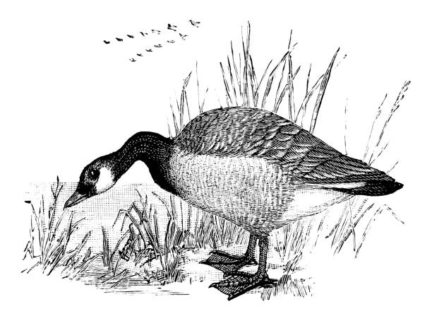 Canada Goose Canada Goose - Scanned 1887 Engraving canada goose stock illustrations