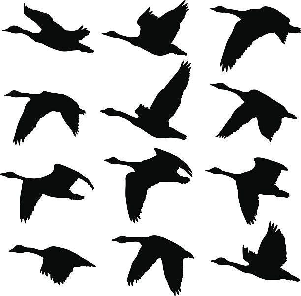 Canadian Geese Silhouettes A collection of unique Canadian Goose silhouettes. 12 unique silhouettes goose bird stock illustrations