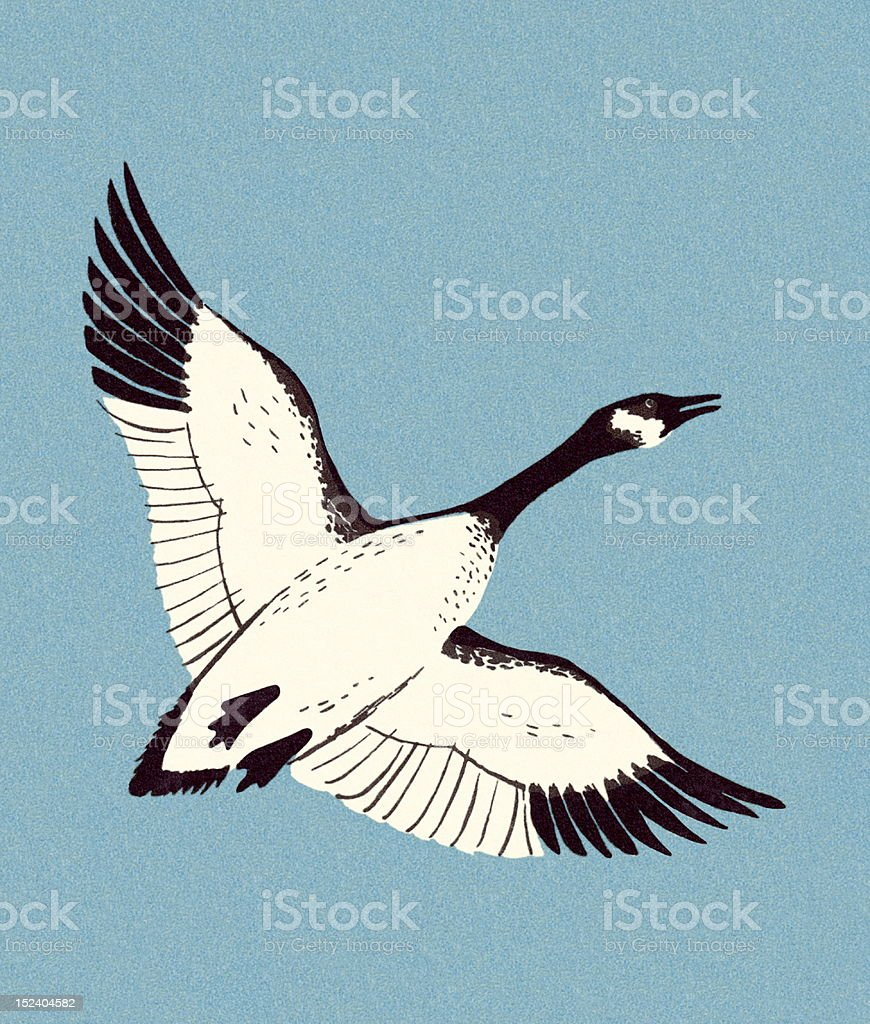 Canadian Goose Flying royalty-free stock vector art
