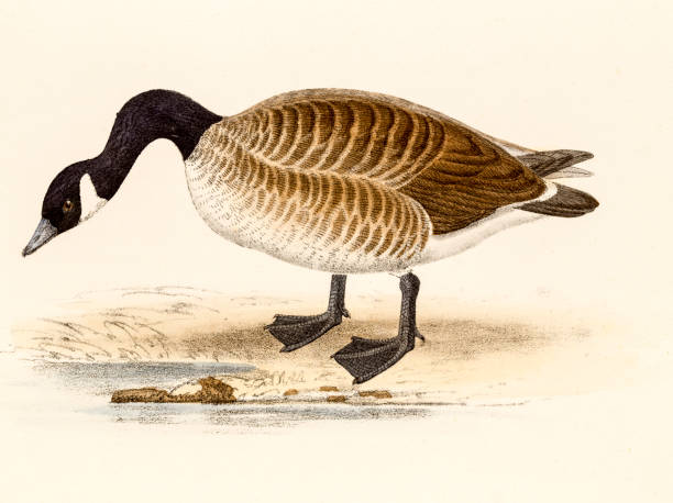 Canadian goose or Cravat goose, 19 century science illustration Canadian goose or Cravat goose. A digitally restored photographic image of the original antique litho from the Coloured Illustrations of British Birds, and Their Eggs by Henry Leonard Meyer published in 1857. canada goose stock illustrations