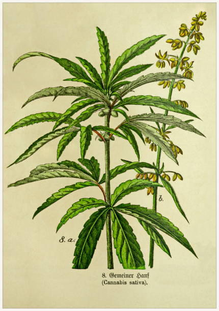 Cannabis sativa - Cropped from Victorian style botanical lithographs book. Munich 1880-1889,  Germany. Cropped from Victorian style botanical lithographs book. Munich 1880-1889,  Germany. 1880 1889 stock illustrations