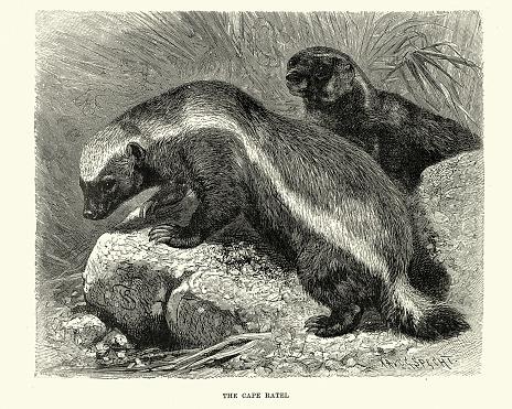 Cape Honey badger, Cape ratel