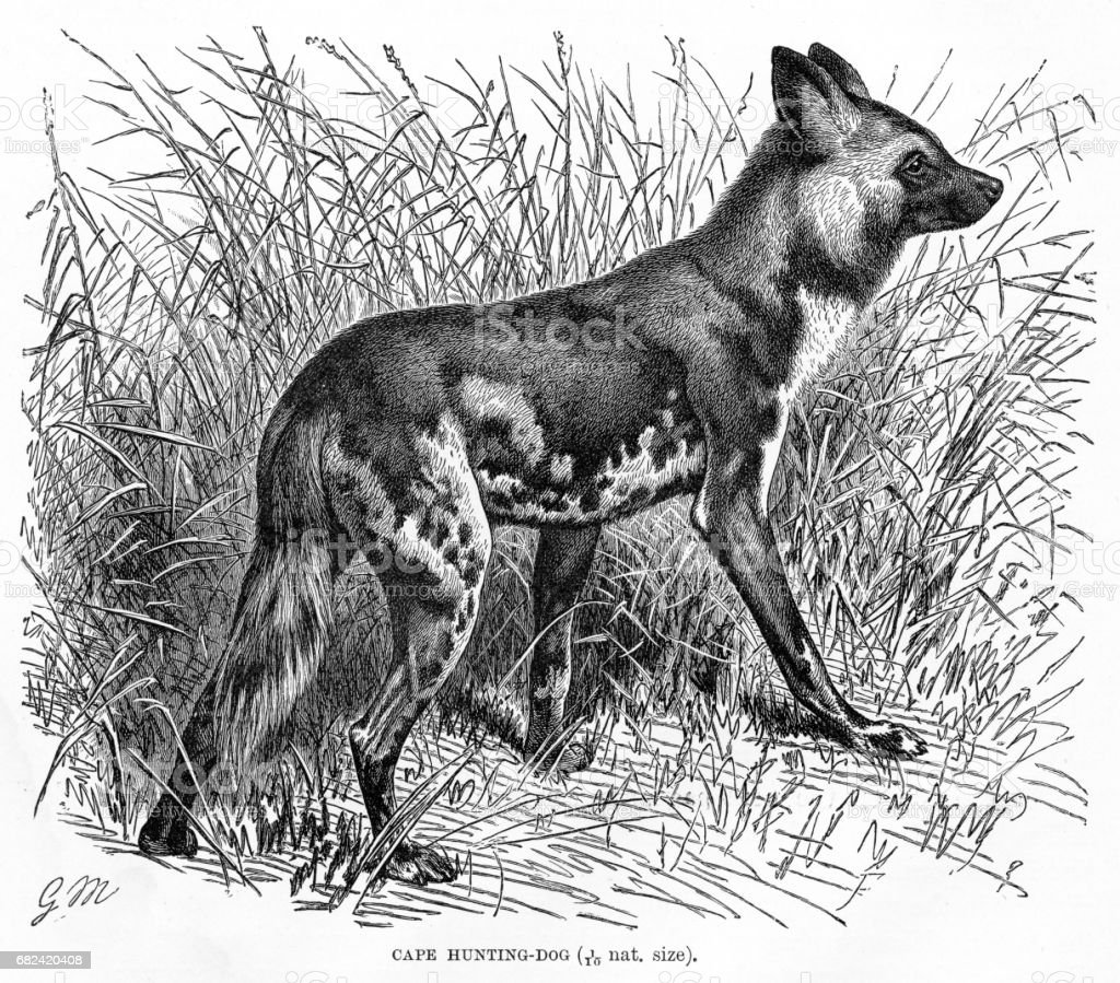 Cape hunting dog engraving 1894 royalty-free cape hunting dog engraving 1894 stock vector art & more images of animal