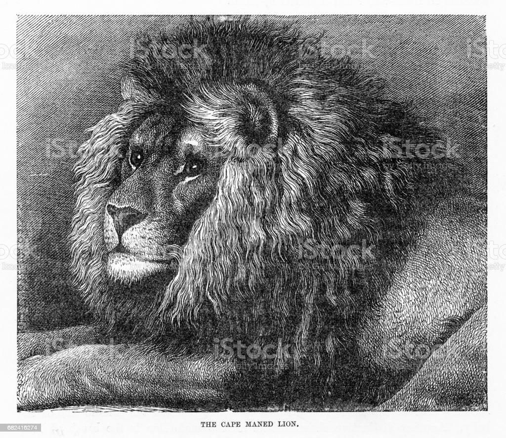Lion de crinière de Cap gravure 1894 lion de crinière de cap gravure 1894 – cliparts vectoriels et plus d'images de antiquités libre de droits