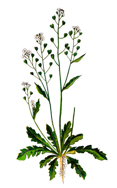 Capsella bursa-pastoris, known by its common name shepherd's purse Illustration of a Capsella bursa-pastoris, known by its common name shepherd's purse shepherd's purse stock illustrations
