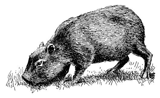 Capybara   Antique Animal Illustrations