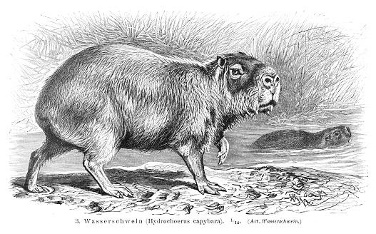 Capybara engraving 1896