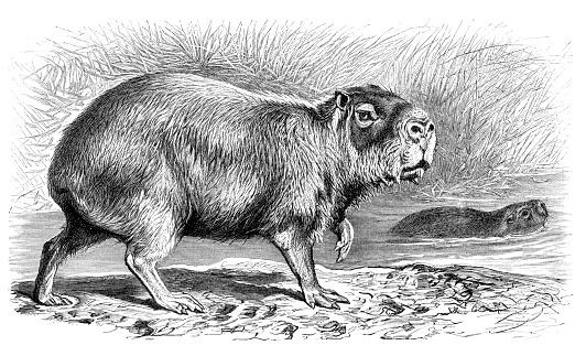 Capybara Hydrochoerus hydrochaeris illustration