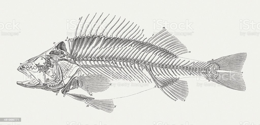 Carcass of a perch (Perca fluviatilis), wood engraving, published 1884 vector art illustration