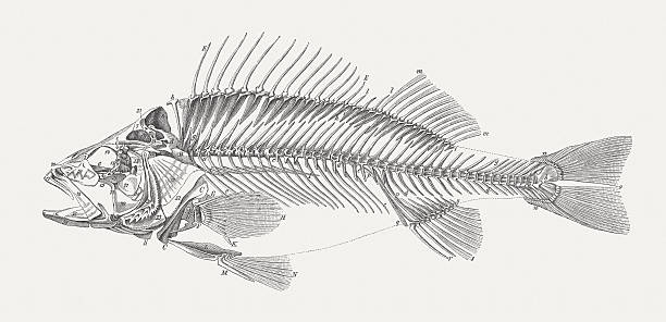 carcass of a perch (perca fluviatilis), wood engraving, published 1884 - fish skeleton stock illustrations, clip art, cartoons, & icons