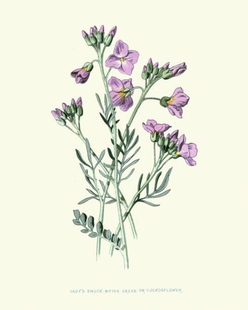 Cardamine pratensis, cuckooflower, lady's smock, botanical flower print vector art illustration