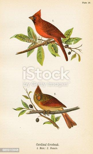 istock Cardinal grosbeak bird lithograph 1890 685910948