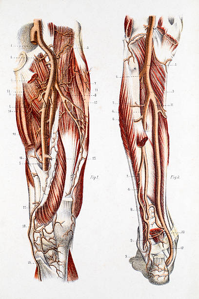 Cardiovascular System of the Leg and Foot 19 century medical illutrsation. Photograph of the original illustration from the