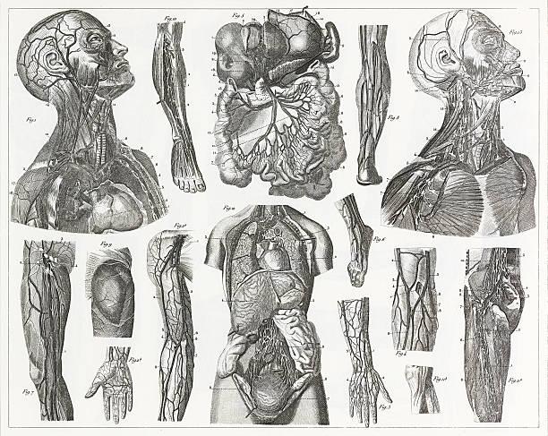 cardivascular system grawerunek - ludzkie części ciała stock illustrations