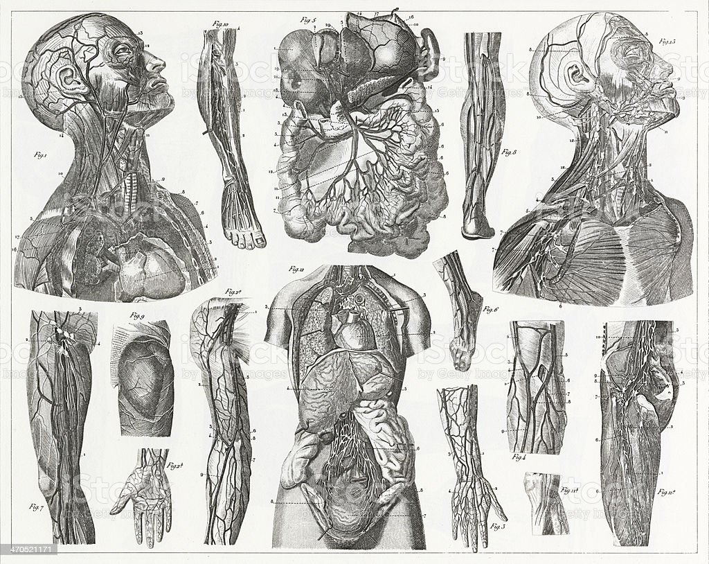 Cardivascular System Engraving vector art illustration
