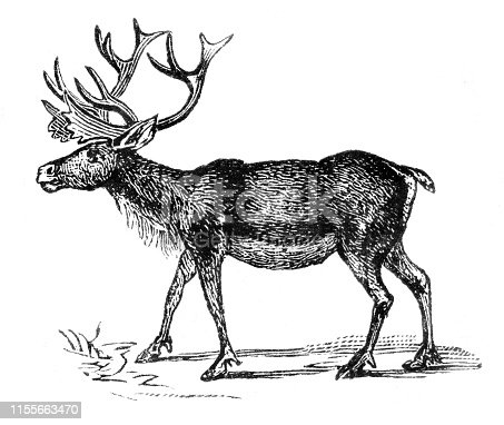 Steel engraving of caribou ( Rangifer tarandus ) Original edition from my own archives Source :