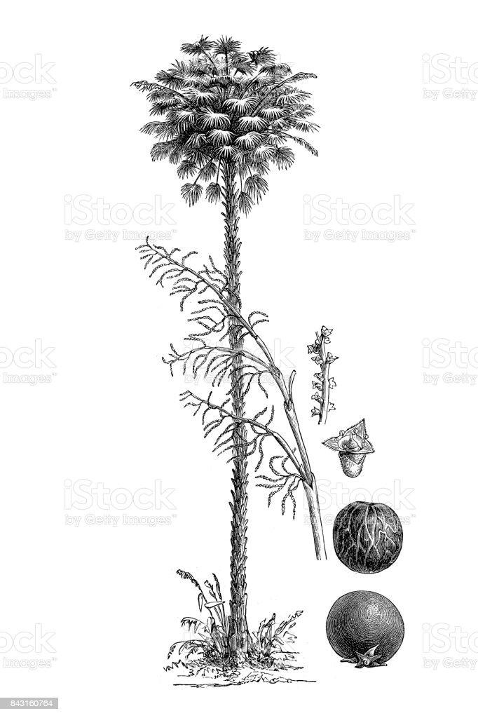 Carnauba (Copernicia cerifera) vector art illustration