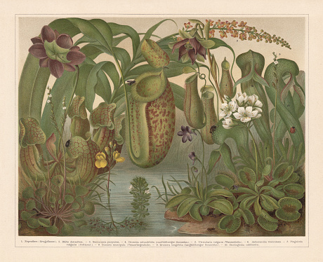 Carnivorous plants, chromolithograph, published in 1897