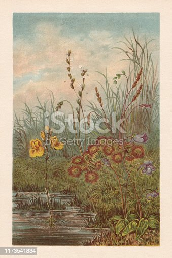 Carnivorous plants in peat bog: Bladderwort (Utricularia vulgaris, left), Sundew (Drosera rotundifolia, center), Butterwort (Pinguicula vulgaris, right). Chromolithograph, published in 1894.