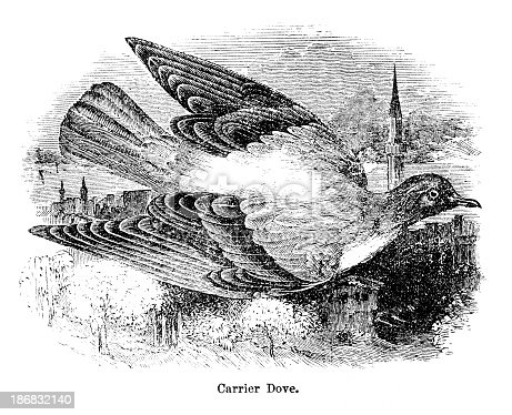 Wood engraving of carrier pigeon. Illustrated Natural History by Rev. J. G. Wood, published in USA in 1882.