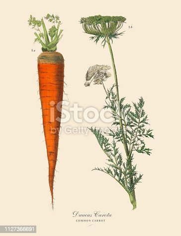 Very Rare, Beautifully Illustrated Antique Engraved Victorian Botanical Illustration of Carrot, Root Crops and Vegetables: Plate 14, Published in 1886. Source: Original edition from my own archives. Copyright has expired on this artwork. Digitally restored.