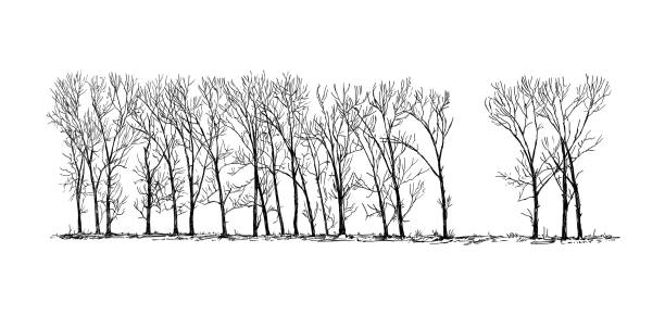 Royalty Free Drawing Of The Poplar Tree Bark Clip Art Vector Images