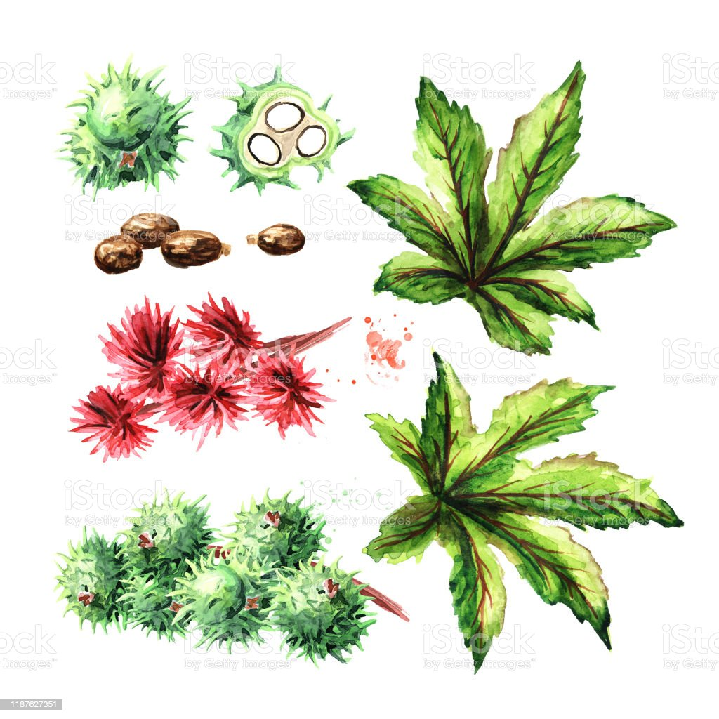 Castor Oil Plant Ricinus Communis Brunch With Green Beans Flowers And Leaves Set Watercolor Hand Drawn Illustration Isolated On White Background Stock Illustration Download Image Now Istock