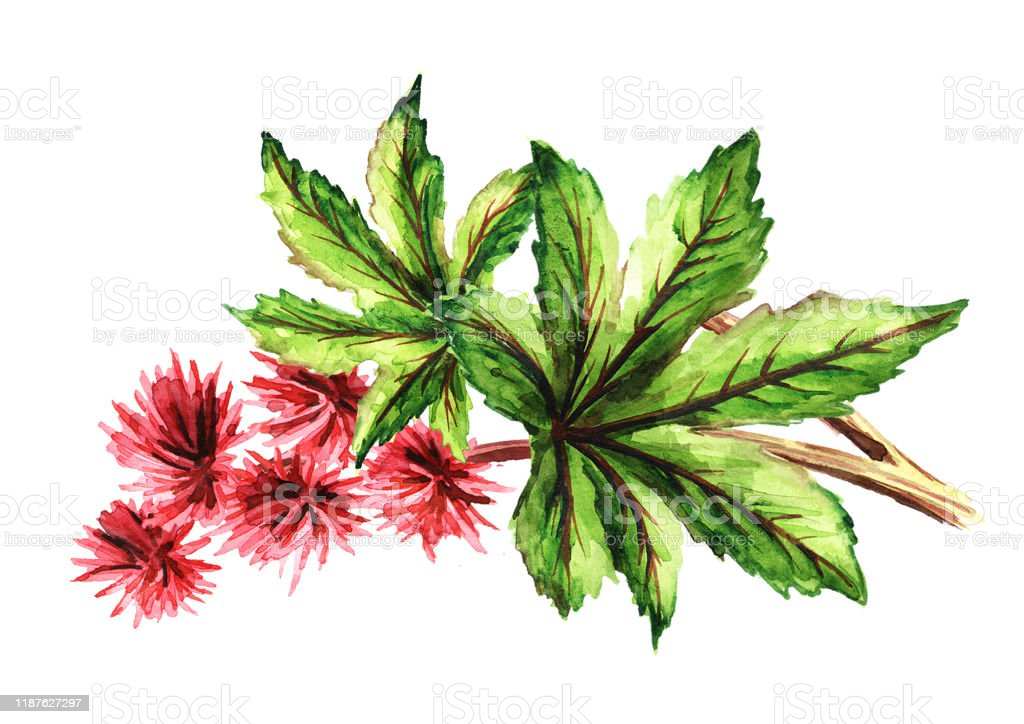 Castor Oil Plant Ricinus Communis Brunch With Red Flowers And Green Leaves Watercolor Hand Drawn Illustration Isolated On White Background Stock Illustration Download Image Now Istock