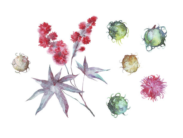 castor oil plant watercolor illustration castor oil plant watercolor illustration hand painted ricin stock illustrations