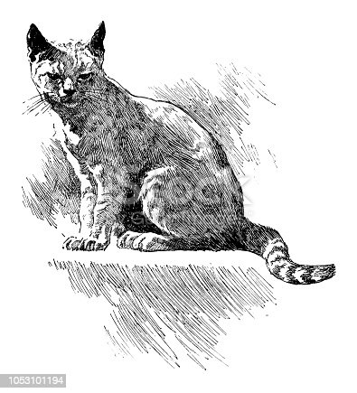 Cat - Scanned 1899 Engraving
