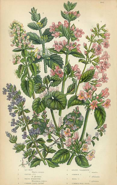 Catmint, Catnip, Ivy, Hoarhound, Calaminth, Thyme, Basil, Victorian Botanical Illustration vector art illustration