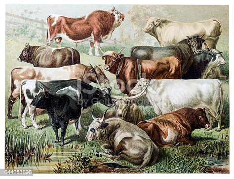 Illustration of a cattle species