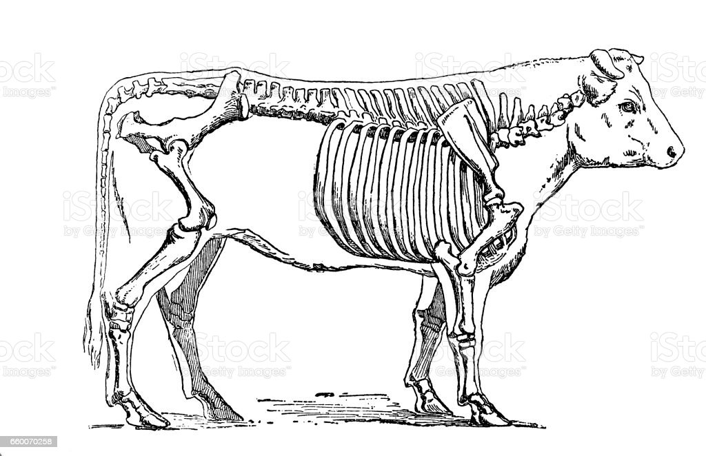 Cattle skeleton vector art illustration