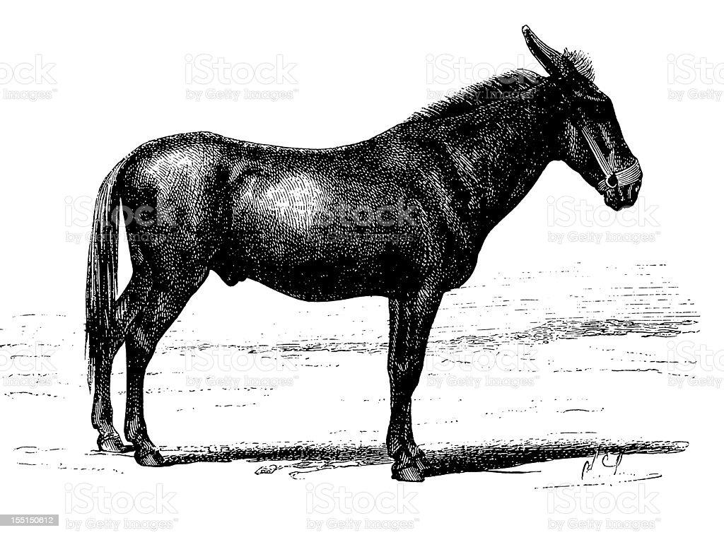 Caucasian mule vector art illustration