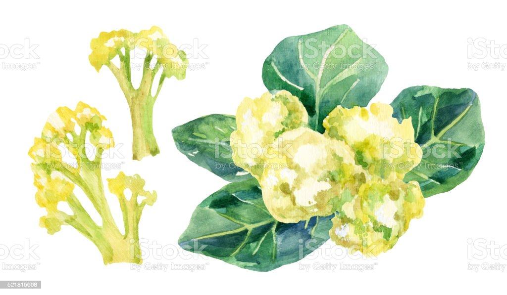 Cauliflower isolated on white background vector art illustration